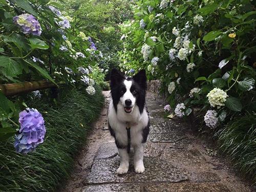 紫陽花と犬