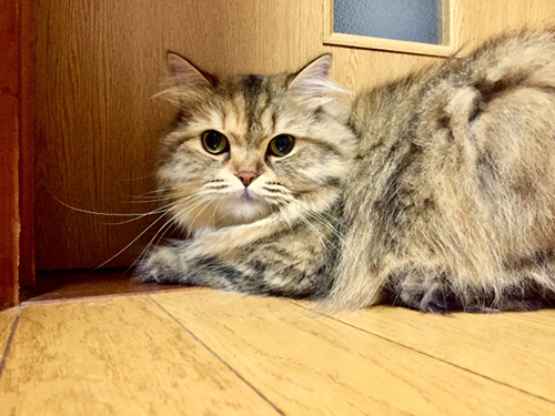 長毛種の猫