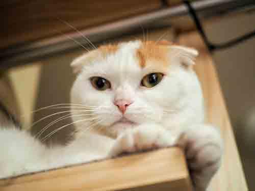 たれ耳の猫
